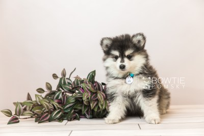 puppy93 week7 BowTiePomsky.com Bowtie Pomsky Puppy For Sale Husky Pomeranian Mini Dog Spokane WA Breeder Blue Eyes Pomskies Celebrity Puppy web1