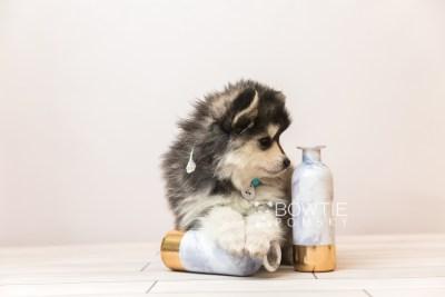 puppy93 week7 BowTiePomsky.com Bowtie Pomsky Puppy For Sale Husky Pomeranian Mini Dog Spokane WA Breeder Blue Eyes Pomskies Celebrity Puppy web3