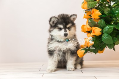puppy93 week7 BowTiePomsky.com Bowtie Pomsky Puppy For Sale Husky Pomeranian Mini Dog Spokane WA Breeder Blue Eyes Pomskies Celebrity Puppy web4
