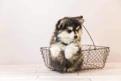 puppy93 week7 BowTiePomsky.com Bowtie Pomsky Puppy For Sale Husky Pomeranian Mini Dog Spokane WA Breeder Blue Eyes Pomskies Celebrity Puppy web5