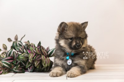 puppy94 week7 BowTiePomsky.com Bowtie Pomsky Puppy For Sale Husky Pomeranian Mini Dog Spokane WA Breeder Blue Eyes Pomskies Celebrity Puppy web1