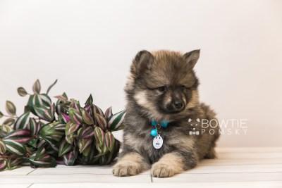 puppy94 week7 BowTiePomsky.com Bowtie Pomsky Puppy For Sale Husky Pomeranian Mini Dog Spokane WA Breeder Blue Eyes Pomskies Celebrity Puppy web1