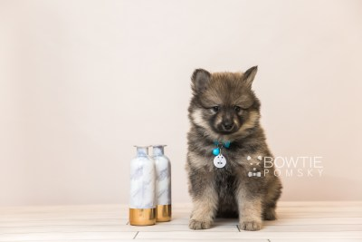 puppy94 week7 BowTiePomsky.com Bowtie Pomsky Puppy For Sale Husky Pomeranian Mini Dog Spokane WA Breeder Blue Eyes Pomskies Celebrity Puppy web2