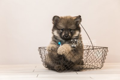 puppy94 week7 BowTiePomsky.com Bowtie Pomsky Puppy For Sale Husky Pomeranian Mini Dog Spokane WA Breeder Blue Eyes Pomskies Celebrity Puppy web4