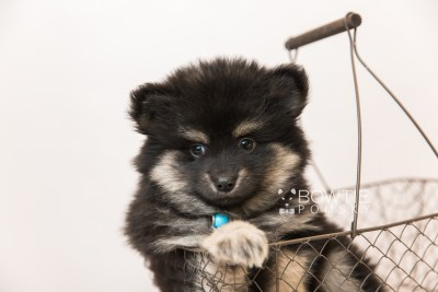 puppy95 week7 BowTiePomsky.com Bowtie Pomsky Puppy For Sale Husky Pomeranian Mini Dog Spokane WA Breeder Blue Eyes Pomskies Celebrity Puppy web3