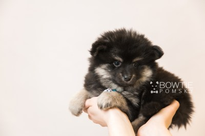 puppy95 week7 BowTiePomsky.com Bowtie Pomsky Puppy For Sale Husky Pomeranian Mini Dog Spokane WA Breeder Blue Eyes Pomskies Celebrity Puppy web6