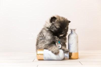 puppy97 week7 BowTiePomsky.com Bowtie Pomsky Puppy For Sale Husky Pomeranian Mini Dog Spokane WA Breeder Blue Eyes Pomskies Celebrity Puppy web2
