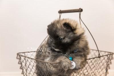 puppy97 week7 BowTiePomsky.com Bowtie Pomsky Puppy For Sale Husky Pomeranian Mini Dog Spokane WA Breeder Blue Eyes Pomskies Celebrity Puppy web4