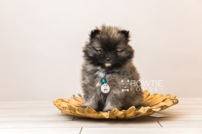 puppy97 week7 BowTiePomsky.com Bowtie Pomsky Puppy For Sale Husky Pomeranian Mini Dog Spokane WA Breeder Blue Eyes Pomskies Celebrity Puppy web5