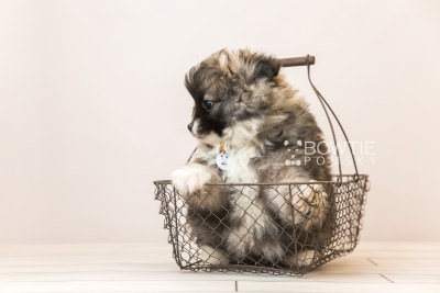 puppy98 week7 BowTiePomsky.com Bowtie Pomsky Puppy For Sale Husky Pomeranian Mini Dog Spokane WA Breeder Blue Eyes Pomskies Celebrity Puppy web2