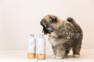 puppy98 week7 BowTiePomsky.com Bowtie Pomsky Puppy For Sale Husky Pomeranian Mini Dog Spokane WA Breeder Blue Eyes Pomskies Celebrity Puppy web4