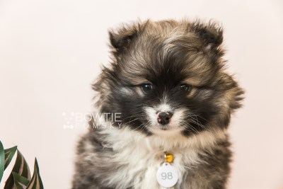 puppy98 week7 BowTiePomsky.com Bowtie Pomsky Puppy For Sale Husky Pomeranian Mini Dog Spokane WA Breeder Blue Eyes Pomskies Celebrity Puppy web5