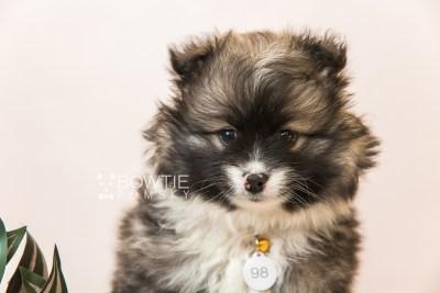 puppy98 week7 BowTiePomsky.com Bowtie Pomsky Puppy For Sale Husky Pomeranian Mini Dog Spokane WA Breeder Blue Eyes Pomskies Celebrity Puppy web5