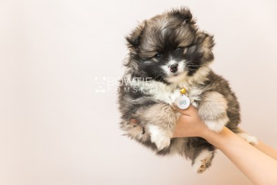 puppy98 week7 BowTiePomsky.com Bowtie Pomsky Puppy For Sale Husky Pomeranian Mini Dog Spokane WA Breeder Blue Eyes Pomskies Celebrity Puppy web6