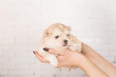 puppy100 week3 BowTiePomsky.com Bowtie Pomsky Puppy For Sale Husky Pomeranian Mini Dog Spokane WA Breeder Blue Eyes Pomskies Celebrity Puppy web1