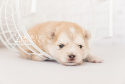 puppy100 week3 BowTiePomsky.com Bowtie Pomsky Puppy For Sale Husky Pomeranian Mini Dog Spokane WA Breeder Blue Eyes Pomskies Celebrity Puppy web5