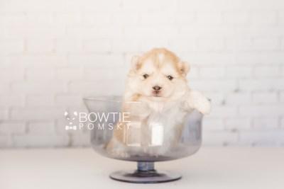 puppy100 week3 BowTiePomsky.com Bowtie Pomsky Puppy For Sale Husky Pomeranian Mini Dog Spokane WA Breeder Blue Eyes Pomskies Celebrity Puppy web6