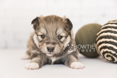 puppy101 week3 BowTiePomsky.com Bowtie Pomsky Puppy For Sale Husky Pomeranian Mini Dog Spokane WA Breeder Blue Eyes Pomskies Celebrity Puppy web3