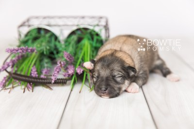 puppy102 week1 BowTiePomsky.com Bowtie Pomsky Puppy For Sale Husky Pomeranian Mini Dog Spokane WA Breeder Blue Eyes Pomskies Celebrity Puppy web2