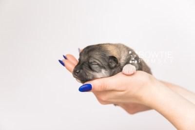 puppy102 week1 BowTiePomsky.com Bowtie Pomsky Puppy For Sale Husky Pomeranian Mini Dog Spokane WA Breeder Blue Eyes Pomskies Celebrity Puppy web5