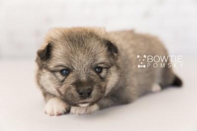 puppy102 week3 BowTiePomsky.com Bowtie Pomsky Puppy For Sale Husky Pomeranian Mini Dog Spokane WA Breeder Blue Eyes Pomskies Celebrity Puppy web6