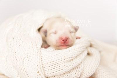 puppy103 week1 BowTiePomsky.com Bowtie Pomsky Puppy For Sale Husky Pomeranian Mini Dog Spokane WA Breeder Blue Eyes Pomskies Celebrity Puppy web4