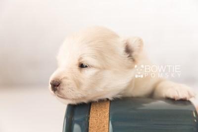 puppy103 week3 BowTiePomsky.com Bowtie Pomsky Puppy For Sale Husky Pomeranian Mini Dog Spokane WA Breeder Blue Eyes Pomskies Celebrity Puppy web1