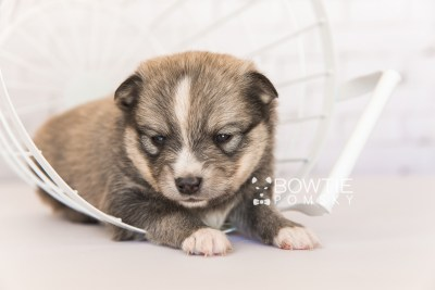 puppy99 week3 BowTiePomsky.com Bowtie Pomsky Puppy For Sale Husky Pomeranian Mini Dog Spokane WA Breeder Blue Eyes Pomskies Celebrity Puppy web3