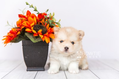 puppy100 week5 BowTiePomsky.com Bowtie Pomsky Puppy For Sale Husky Pomeranian Mini Dog Spokane WA Breeder Blue Eyes Pomskies Celebrity Puppy web1