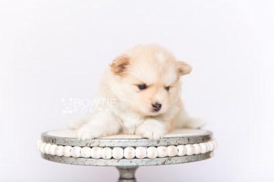 puppy100 week5 BowTiePomsky.com Bowtie Pomsky Puppy For Sale Husky Pomeranian Mini Dog Spokane WA Breeder Blue Eyes Pomskies Celebrity Puppy web5