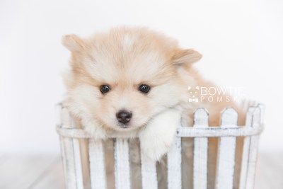 puppy100 week7 BowTiePomsky.com Bowtie Pomsky Puppy For Sale Husky Pomeranian Mini Dog Spokane WA Breeder Blue Eyes Pomskies Celebrity Puppy web2