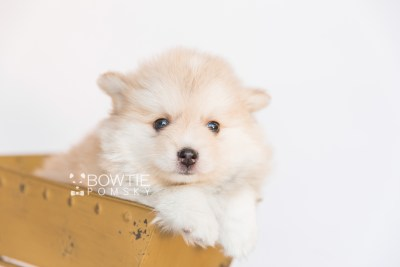 puppy100 week7 BowTiePomsky.com Bowtie Pomsky Puppy For Sale Husky Pomeranian Mini Dog Spokane WA Breeder Blue Eyes Pomskies Celebrity Puppy web5