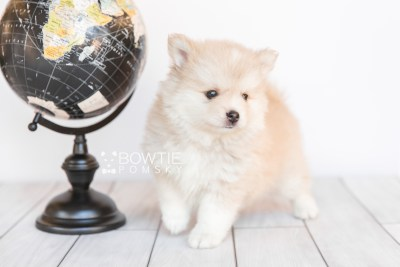 puppy100 week7 BowTiePomsky.com Bowtie Pomsky Puppy For Sale Husky Pomeranian Mini Dog Spokane WA Breeder Blue Eyes Pomskies Celebrity Puppy web6
