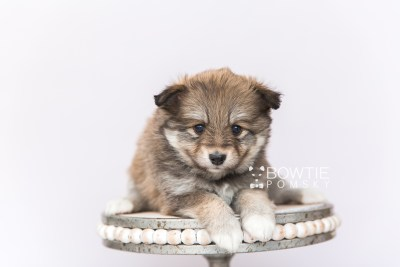 puppy101 week5 BowTiePomsky.com Bowtie Pomsky Puppy For Sale Husky Pomeranian Mini Dog Spokane WA Breeder Blue Eyes Pomskies Celebrity Puppy web3