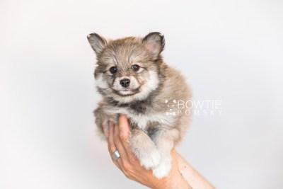 puppy101 week7 BowTiePomsky.com Bowtie Pomsky Puppy For Sale Husky Pomeranian Mini Dog Spokane WA Breeder Blue Eyes Pomskies Celebrity Puppy web1