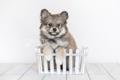 puppy101 week7 BowTiePomsky.com Bowtie Pomsky Puppy For Sale Husky Pomeranian Mini Dog Spokane WA Breeder Blue Eyes Pomskies Celebrity Puppy web2