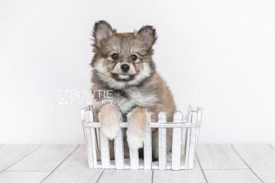 puppy101 week7 BowTiePomsky.com Bowtie Pomsky Puppy For Sale Husky Pomeranian Mini Dog Spokane WA Breeder Blue Eyes Pomskies Celebrity Puppy web2