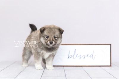 puppy102 week5 BowTiePomsky.com Bowtie Pomsky Puppy For Sale Husky Pomeranian Mini Dog Spokane WA Breeder Blue Eyes Pomskies Celebrity Puppy web4