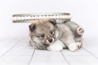 puppy102 week5 BowTiePomsky.com Bowtie Pomsky Puppy For Sale Husky Pomeranian Mini Dog Spokane WA Breeder Blue Eyes Pomskies Celebrity Puppy web5