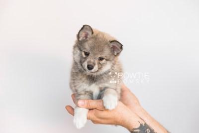 puppy102 week7 BowTiePomsky.com Bowtie Pomsky Puppy For Sale Husky Pomeranian Mini Dog Spokane WA Breeder Blue Eyes Pomskies Celebrity Puppy web1