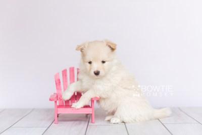 puppy103 week5 BowTiePomsky.com Bowtie Pomsky Puppy For Sale Husky Pomeranian Mini Dog Spokane WA Breeder Blue Eyes Pomskies Celebrity Puppy web2