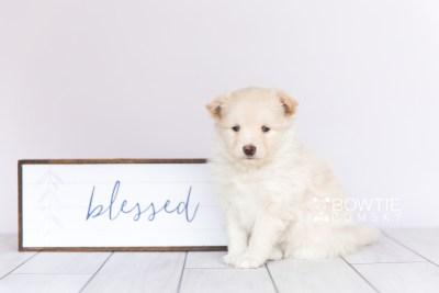 puppy103 week5 BowTiePomsky.com Bowtie Pomsky Puppy For Sale Husky Pomeranian Mini Dog Spokane WA Breeder Blue Eyes Pomskies Celebrity Puppy web5