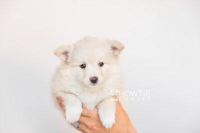 puppy103 week7 BowTiePomsky.com Bowtie Pomsky Puppy For Sale Husky Pomeranian Mini Dog Spokane WA Breeder Blue Eyes Pomskies Celebrity Puppy web1