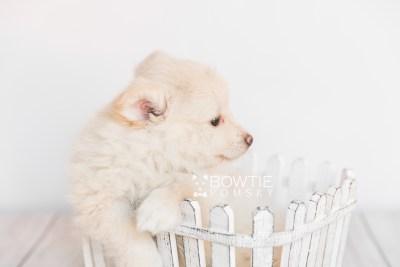 puppy103 week7 BowTiePomsky.com Bowtie Pomsky Puppy For Sale Husky Pomeranian Mini Dog Spokane WA Breeder Blue Eyes Pomskies Celebrity Puppy web2