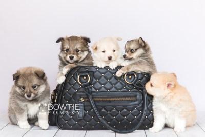 puppy99-103 week5 BowTiePomsky.com Bowtie Pomsky Puppy For Sale Husky Pomeranian Mini Dog Spokane WA Breeder Blue Eyes Pomskies Celebrity Puppy web1
