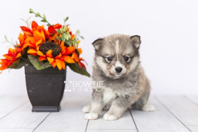 puppy99 week5 BowTiePomsky.com Bowtie Pomsky Puppy For Sale Husky Pomeranian Mini Dog Spokane WA Breeder Blue Eyes Pomskies Celebrity Puppy web1
