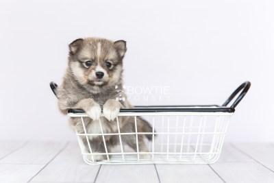 puppy99 week5 BowTiePomsky.com Bowtie Pomsky Puppy For Sale Husky Pomeranian Mini Dog Spokane WA Breeder Blue Eyes Pomskies Celebrity Puppy web2