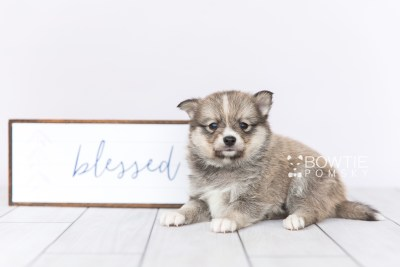 puppy99 week5 BowTiePomsky.com Bowtie Pomsky Puppy For Sale Husky Pomeranian Mini Dog Spokane WA Breeder Blue Eyes Pomskies Celebrity Puppy web4
