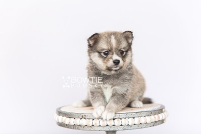 puppy99 week5 BowTiePomsky.com Bowtie Pomsky Puppy For Sale Husky Pomeranian Mini Dog Spokane WA Breeder Blue Eyes Pomskies Celebrity Puppy web5