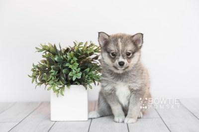 puppy99 week7 BowTiePomsky.com Bowtie Pomsky Puppy For Sale Husky Pomeranian Mini Dog Spokane WA Breeder Blue Eyes Pomskies Celebrity Puppy web1